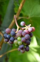 grapes by mimose-stock