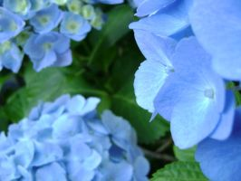 Angular Hydrangea's by laura-worldwide