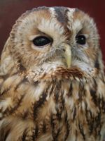 Pluisje my Tawny Owl by Juliets-Designs