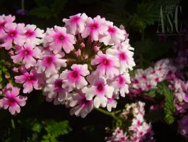Lovely Verbena by Pentacle5