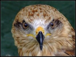 African Black Kite Portrait by cycoze