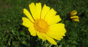 Yellow Marguerite Daisy by dracontes