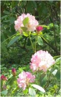 Rhododendron 12 by Kattvinge
