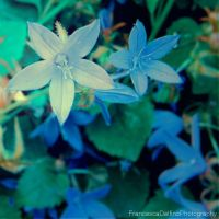 Little blue flower by FrancescaDelfino