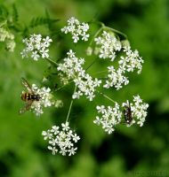 Fly and bee on hogweed by friedapi
