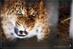 angry Leopard by brijome