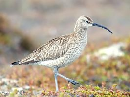 Whimbrel 02 by nordfold