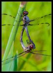 Mating Dragonflies by Eccoton