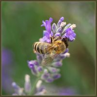 lavender honey by Ingelore