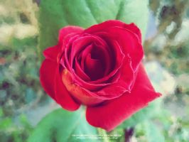 Rose by RazielMB-PhotoArt