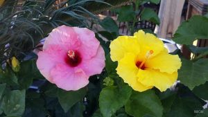 Pink and Yellow Hibiscus by NilRodi