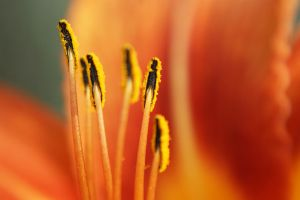 Fuzzy Stamens by HrWPhotography