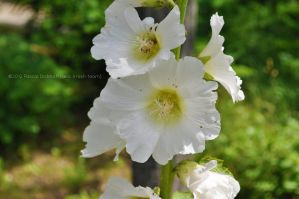 White unspoiled flower by Krash-Team