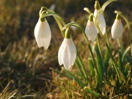 Snowdrops... by Fadedhowl