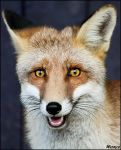Foxy smile... by woxys