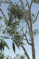 Eucalyptus Pyrocarpa by ExtremeProjects