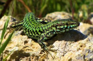 The Maltese Wall Lizard by Maltese-Naturalist