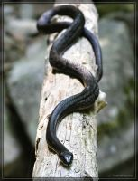 Black Rat Snake 20D0028360 by Cristian-M
