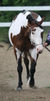 Paint Horse 83 by FantasyDesignStock
