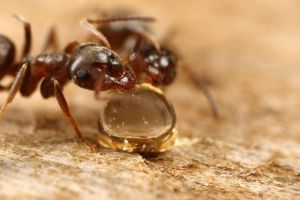 Uk ant at feeding station by macrojunkie