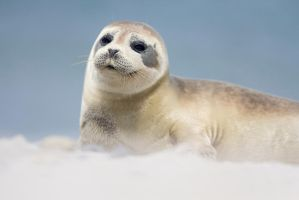 Seal by AngelaLouwe