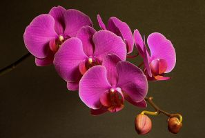 the orchid by Su58