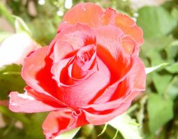 Red Rose.. by Austriia