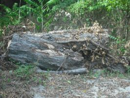 Tree_Trunk_Stock_by_intenseone by intenseone345