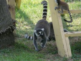 Ringtail Lemurs II by Jisei
