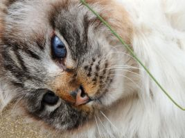 Kitty Daydreams by Forestina-Fotos