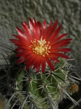 Cactus (Ps) with 1 red flower (14 08m 29) #54 by UAkimov09