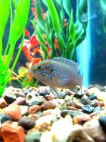 Jewel Cichlid by transcendelia