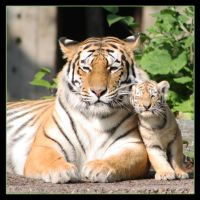 Amur Tigers 10 by Globaludodesign