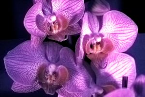 orchid3 by dok0001