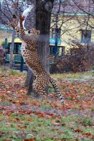 Cheetah tries to catch food by neo1984com