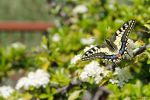Papilio Machaon by Cadaverino89