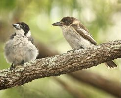 Australian Grey Butcherbird  and Juvenile by Firey-Sunset
