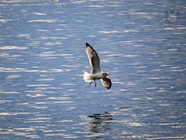 Banking Seagull by wolfwings1