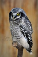 A grumpy little owl by Tienna