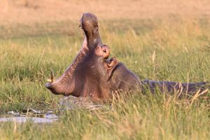 Botswana 2015 - Intimidation by Seb-Photos