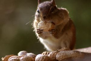 Chipmunk Gets into the Peanuts by RoastedRight76