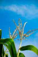 Cornstalks Up High III by carbyville