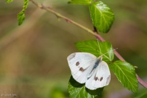 Large white butterfly by CyclicalCore