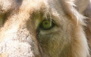 Lion's Eye by The-Aperture