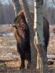 Bison-Treehugger by JestePhotography