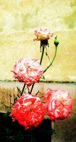 and roses by Kosa101