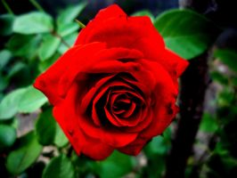 A red rose for my lady by Dunicika