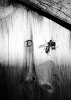 Wasp B+W. by chriptik