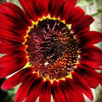 Red Sunflower 1 by TropicalxLondon
