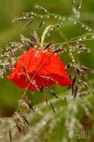 Mohn 5 by SpaceDog500